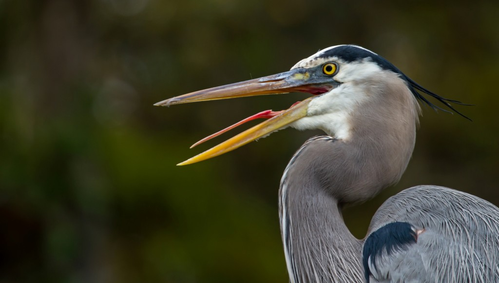 grand-heron-rainbow-river-floride