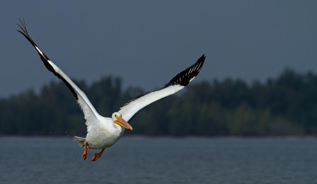 pelican-damerique-pelican-island-vero-beach-floride